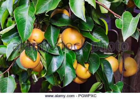 Fruit of Nashi pear tree (Pyrus pyrifolia kumoi) is being eaten by German wasp (Vespula germanica). - Stock Photo