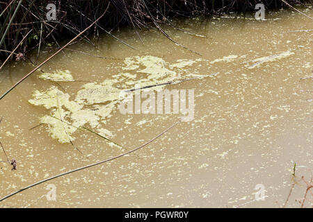 Algae in pond (algae growth) - California USA - Stock Photo