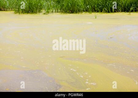Algal bloom in pond (algae growth) - California USA - Stock Photo
