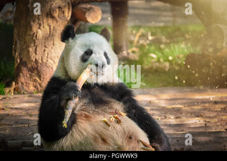 Giant panda bear in China - Stock Photo