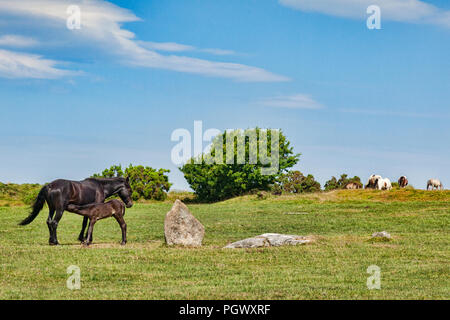 Wild ponies grazing on Bodmin Moor at The Hurlers stone circlre near Minions, the highest village in Cornwall,  with mare feeding foal, Cornwall, UK. - Stock Photo