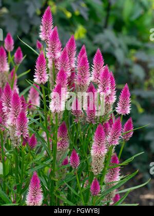 Celosia argentea 'Flamingo Feather'  (Spicata Group) - Stock Photo