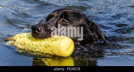 A black labrador swims with a gundog dummy in his mouth. - Stock Photo