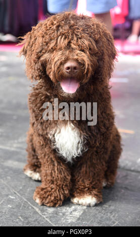 Portrait of a brown Spanish Water Dog (perro de agua español) - Stock Photo