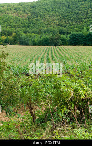 Common, privet, ligustrum vulgare and maize growing near the hamlet of St Gregoire, part of the commune of Varen, Tarn et Garonne, Occitanie, Franc - Stock Photo
