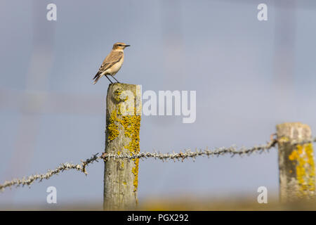 Wheatear (Oenanthe oenanthe) perched on wooden fence post at Seaford UK. A summer migrant with pale stripe over eye female plumage. - Stock Photo