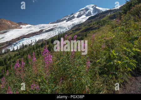 Pretty, magenta coloured Fireweed - Rosebay Willowherb - stand in foreground below Mount Baker and Coleman Glacier.  Image from Heliotrope Ridge hikin - Stock Photo