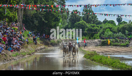 Chau Doc, Vietnam - Sep 3, 2017. Cows (ox) racing on rice field in Chau Doc, Vietnam. The ox racing in Chau Doc has an age old tradition. - Stock Photo