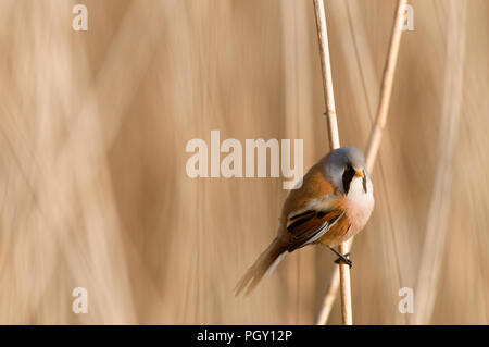 Bearded Reedling (Panurus biarmicus) - male - France Panure a moustaches - Stock Photo