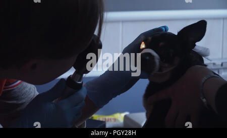 Veterinarian ophthalmologist checks the eyes of a dog, biomicroscopy. Biomicroscopy of the eye is method of examining the eye environments with the help of slit lamp. Veterinarian doing medical procedure, examining the eyes of a dog in a veterinary clinic. Healthy dog under medical exam. - Stock Photo