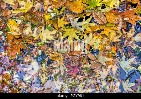 Fallen autumn leaves from various kinds of trees, forming a colorful collage in a pond in a park in autumn - Stock Photo