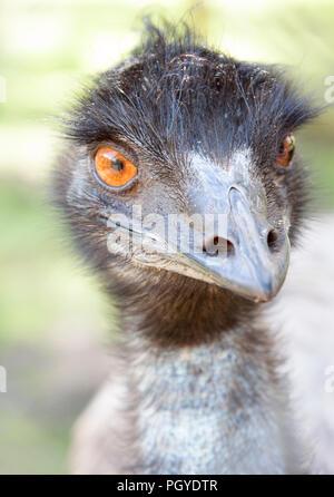 Close-up of emu (Dromaius novaehollandiae) with beady eyes - Stock Photo
