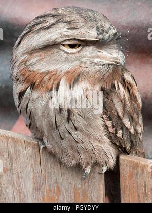 Tawny frogmouth (Podargus strigoides) perched on wodden fence - Stock Photo