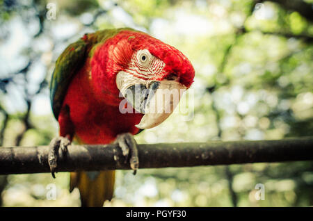 Mauritius Red Parrot - Stock Photo
