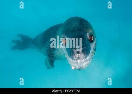 Leopard seal (Hydruga leptonyx), swimming underwater, Pleneau Island, Antarctic Peninsula, Antarctica