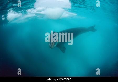 Leopard seal (Hydruga leptonyx), swimming underwater, Verdnadsky Station, Antarctic Peninsula, Antarctica