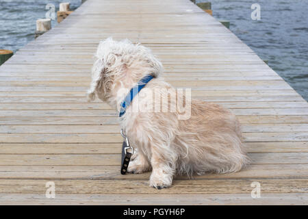 Mustard colored Dandie Dinmont Terrier, sitting on a wooden Jetty at a Beach in Scandinavia, looking towards the shore. Wearing a blue collar and a da - Stock Photo