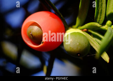 Close up of a yew tree berry, or aril. - Stock Photo