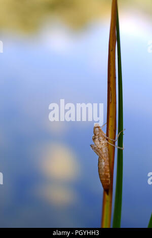 Empty dragonfly nymph casing. - Stock Photo