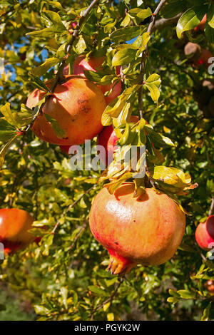 fruits and leaves of pomegranate, Punica granatum, Lithraceae - Stock Photo