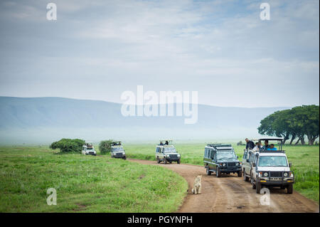Game drive vehicles line up to view a lioness, Panthera leo, Ngorongoro Crater, Ngorongoro Crater Conservation Area, Arusha Region, Tanzania. - Stock Photo