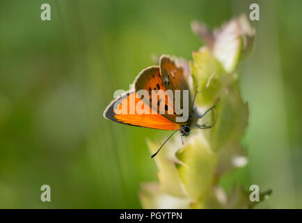 Lannaz insects - Stock Photo