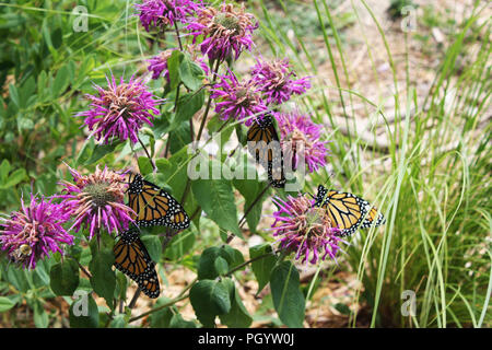 Four Monarch butterflies resting on Bee Balm in a garden in Trevor, Wisconsin, USA - Stock Photo