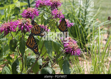 Close up of four Monarch butterflies resting on Bee balm in a garden in Trevor, Wisconsin, USA - Stock Photo