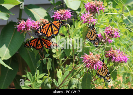 Close up of four Monarch butterflies resting on Bee balm with a bumblebee flying through in a garden in Trevor, Wisconsin, USA - Stock Photo