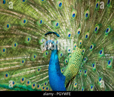 Peacock bird close up displaying its beautiful and colorful blue & green plumage tail with eyespots. - Stock Photo