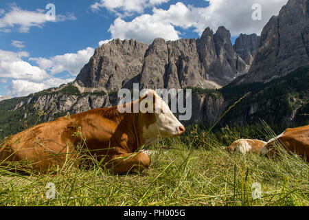 South Tyrol, Trentino, Italy, dairy cows on a pasture on the Gršdner Pass, mountain pass in South Tyrol, - Stock Photo