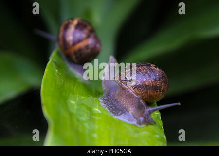 London. UK 29 Aug 2018 - A snail slides away after climbing on the other snail on a wet leaf after rainfall in London.   Credit: Dinendra Haria/Alamy Live News - Stock Photo