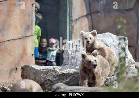 The Himalayan brown bear (Ursus arctos isabellinus) in South Bohemia Zoological Gardens of Hluboka nad Vltavou, Czech Republic, August 29, 2018. (CTK Photo/Vaclav Pancer) - Stock Photo