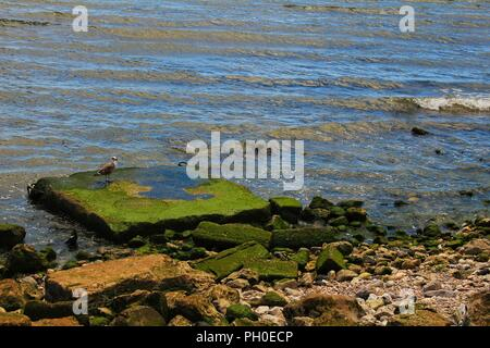 Seagull perched on a stone with algae on the bank of the Tagus River in Lisbon, Portugal - Stock Photo