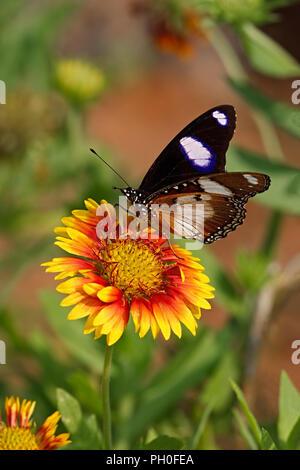 Danaid Eggfly or Mimic or Diadem butterfly or Hypolimnas misippus on a Firewheel flower or Gaillardia pulchella - Stock Photo
