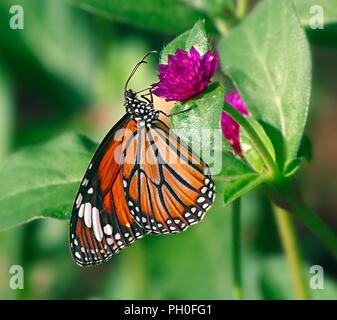 Danaus genutia or oriental striped tiger orange butterfly on a purple flower of gomphrena globose or common globe amaranth. - Stock Photo