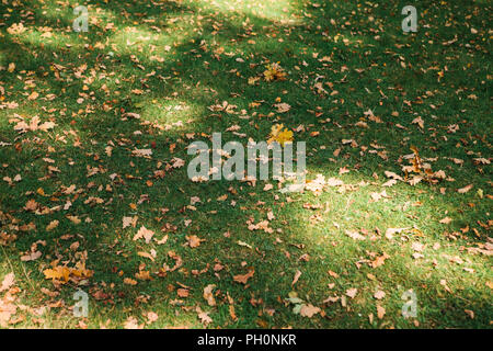 Autumn yellow oak leaves lie on the grass. Autumn time. - Stock Photo