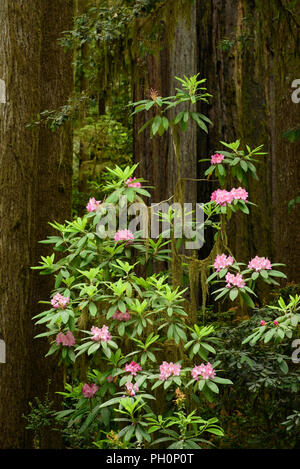 Rhododendron blooming and redwood tree trunks; Jedediah Smith Redwoods State Park, California. - Stock Photo