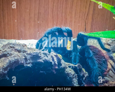 Black curly-hair tarantula (Brachypelma albopilosum), Birdeater curly haired tarantula spider. - Stock Photo