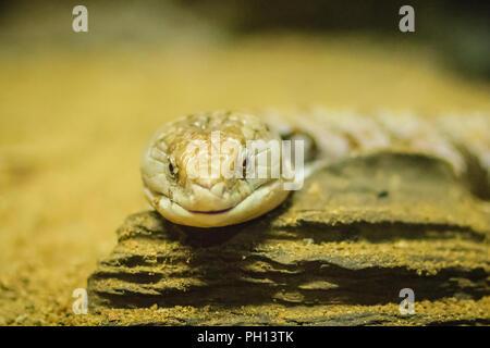 Close up head of the Blotched Blue-tongued lizard (Tiliqua nigrolutea), the largest lizard species occurring in Tasmania, Australia. Blue tongued skin - Stock Photo