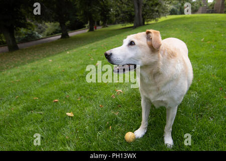 Golden Labrador Retriever waiting for it's ball to be thrown in the park. - Stock Photo
