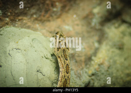 Daboia siamensis snake, a venomous viper species that is endemic to parts of Southeast Asia, southern China and Taiwan. Common named Eastern Russell's - Stock Photo