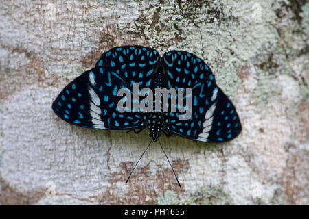 Red Cracker Butterfly, Hamadryas amphinome, single adult resting on tree.  Taken May. Atlantic Rainforest, Brazil. - Stock Photo