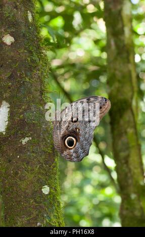 Owl Butterfly, Caligo ilioneus, resting on side of tree in forest.  Taken April. Atlantic Rainforest, Brazil. - Stock Photo