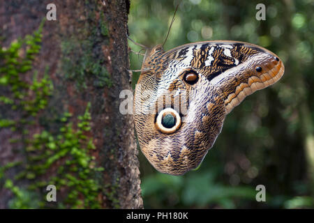 Owl Butterfly, Caligo ilioneus, close-up of single adult resting on side of tree in forest.  Taken April. Atlantic Rainforest, Brazil. - Stock Photo