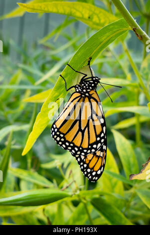 A Monarch butterfly, danaus plexippus, just emerging from the chrysalis stage hanging on a swamp milkweed leaf in a garden in Speculator, NY USA - Stock Photo