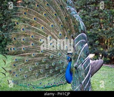Peacock bird displaying his plumage enjoying its surrounding. - Stock Photo