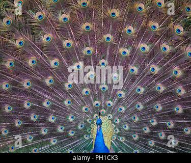 Peacock bird displaying his plumage and enjoying its surrounding. - Stock Photo
