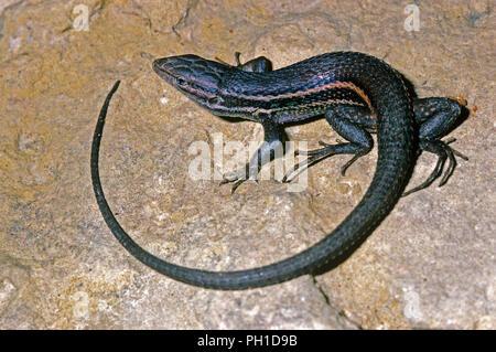 Large psammodromus (Psammodromus algirus). Southern Spain. Europe - Stock Photo