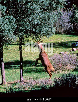 A Red deer hits an holm oak with the horns to get acorns. Sierras de Cazorla, Segura y Las Villas Natural Park. Jaen province. Region of Andalusia. Sp - Stock Photo